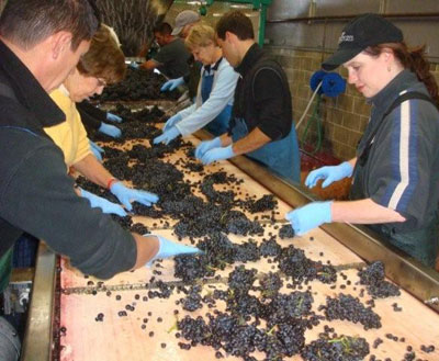 Sorting Grapes at Ken Wright